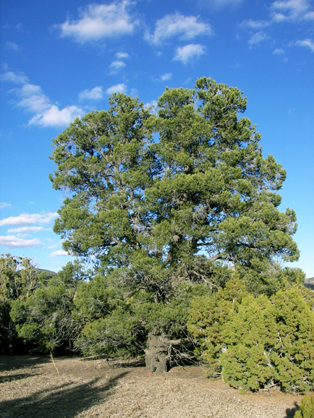 pinon nuts are harvested in New Mexico from pinyon pine trees like this one.